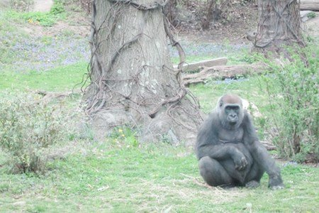 Gorillas and Healthy Eating